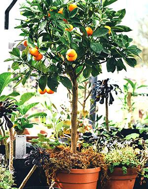 Kalamondin, mandarin